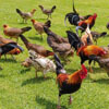 thousands of wild chickens on the island