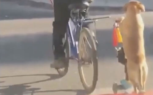 собака гуляет на самокате
