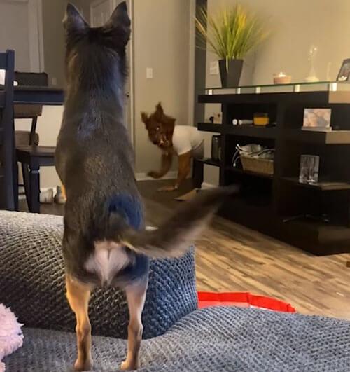 пёс даёт отпор оборотню