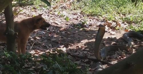 псы атаковали кобру