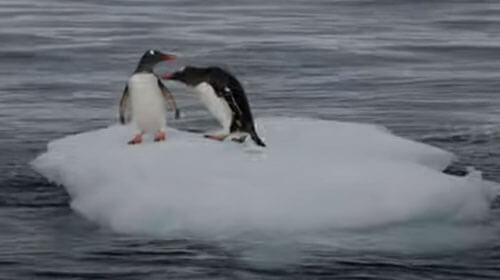 пингвины не поделили лёд