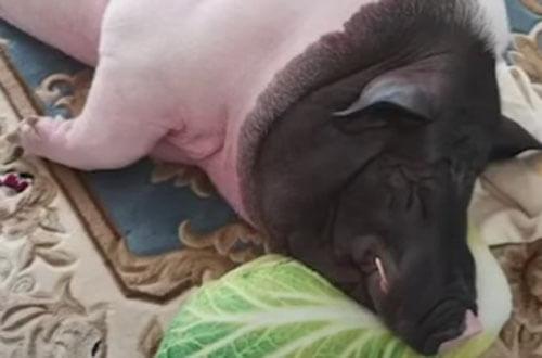свинка оказалась не крошечной
