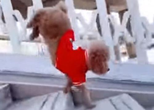 талантливая собака на лестнице