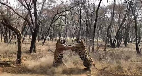 две тигрицы подрались
