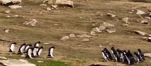 две компании пингвинов беседуют