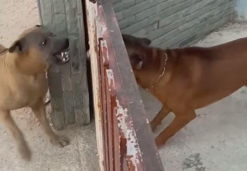 собаки ругаются через забор