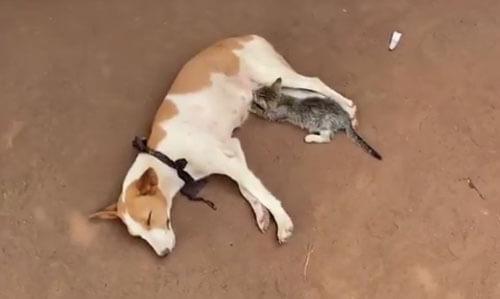 собака кормит котёнка молоком
