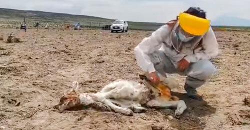 убитые обескровленные животные