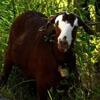 коза атаковала мужчину