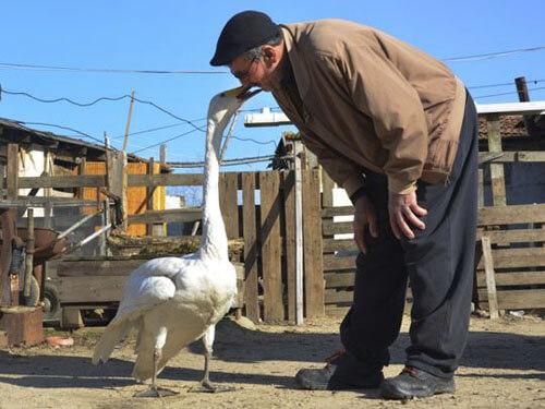 добряк дружит с лебедем