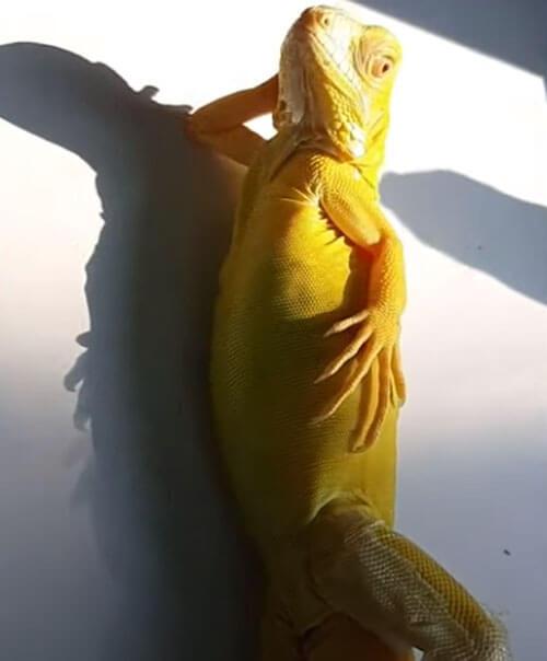 игуана выглядит как модель