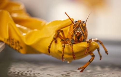 редчайший жёлтый лобстер