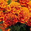 слишком оранжевые цветы
