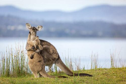 мама-кенгуру обнимает детёныша