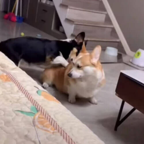 corgi massage a friend