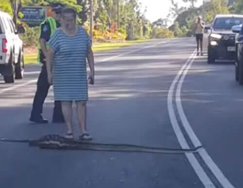 объевшаяся змея на дороге