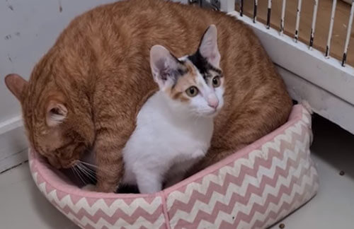 наглый кот лезет в лежанку