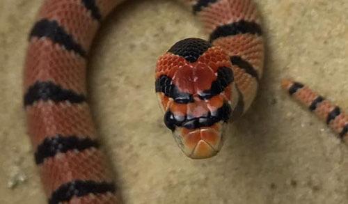 сбежавшая ядовитая змея