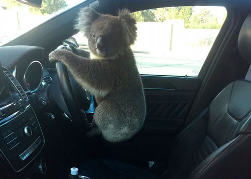 koala driving an off-road vehicle