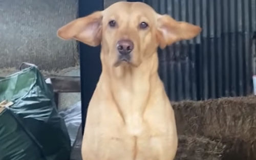 the wind blew the dog's ears