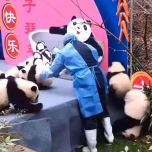 цепная реакция падающих панд