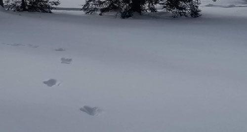 бигфут оставил следы в снегу