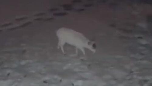 редкий олень-альбинос
