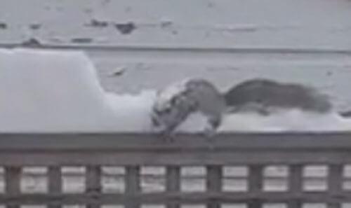 белка убирает снег
