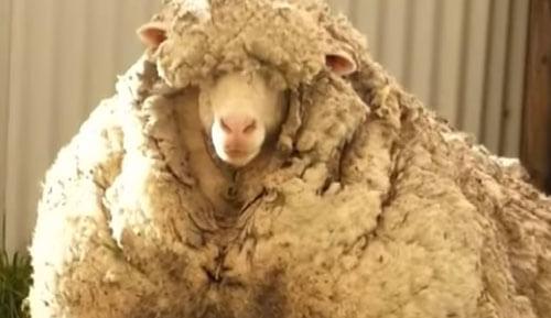 одичавшую овцу постригли