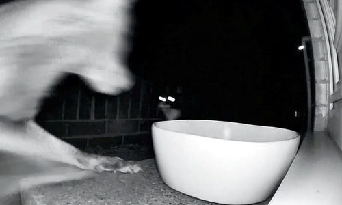 злобная кошка прогнала лису