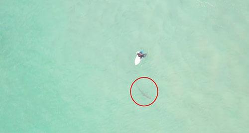 серфер наступил на акулу