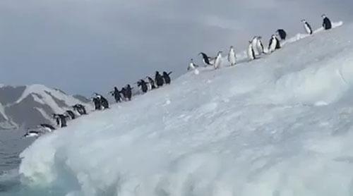 пингвины прыгают с айсберга