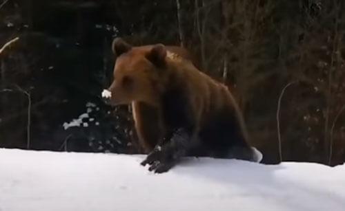 медведь погнался за лыжниками