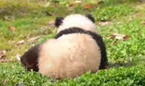 смешная катающаяся панда