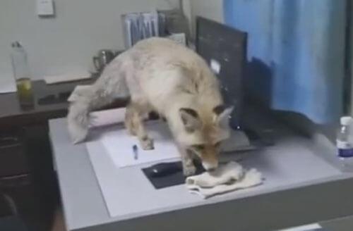 лиса регулярно посещает завод