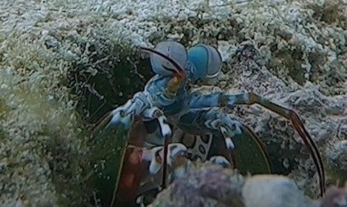 рак-богомол под водой