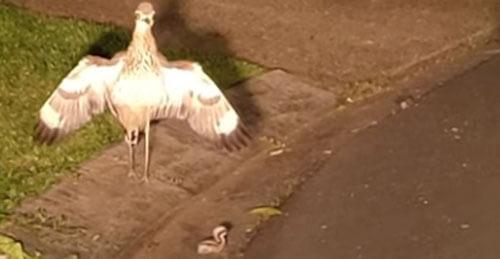 птицы защищают птенца от машины