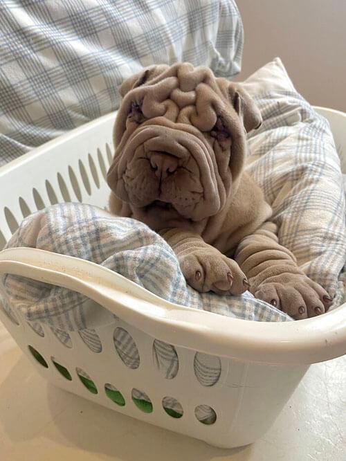 щенок похож на смятое одеяло