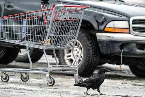 вороны крадут продукты у людей