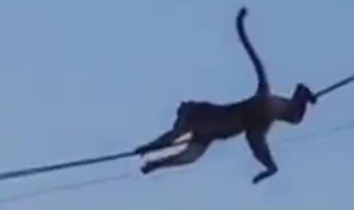 обезьяны спускаются с крыши
