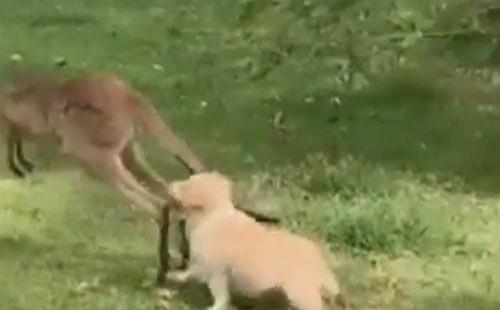 puppy hug kangaroo