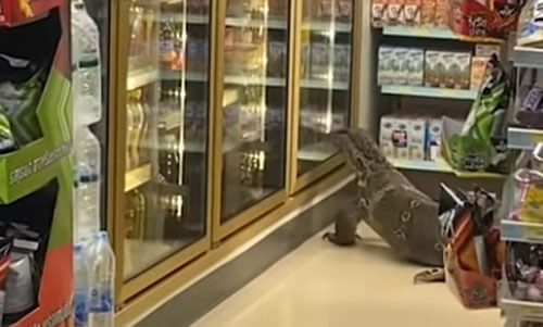 a mess in the store due to a monitor lizard