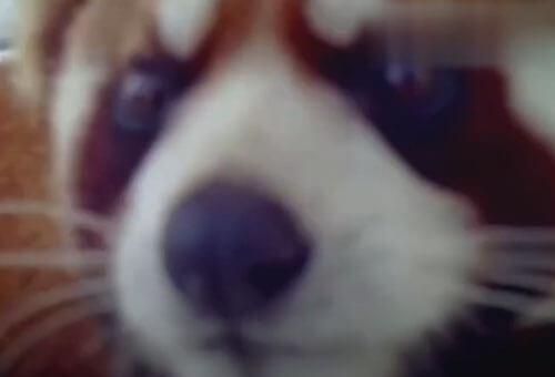 красная панда и видеокамера