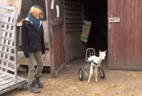 альпака в инвалидной коляске
