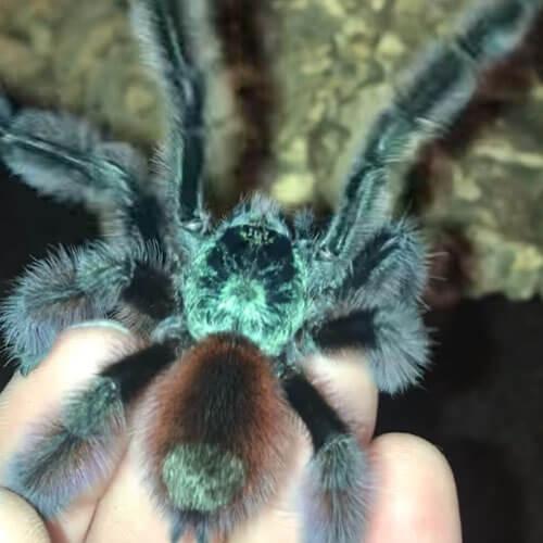 красочный тарантул прыгает