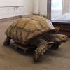 черепаха с больными суставами