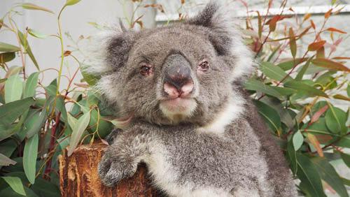 long-lived record koala