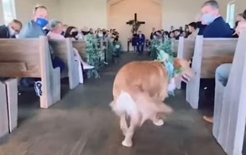 пёс отвлёкся на свадьбе