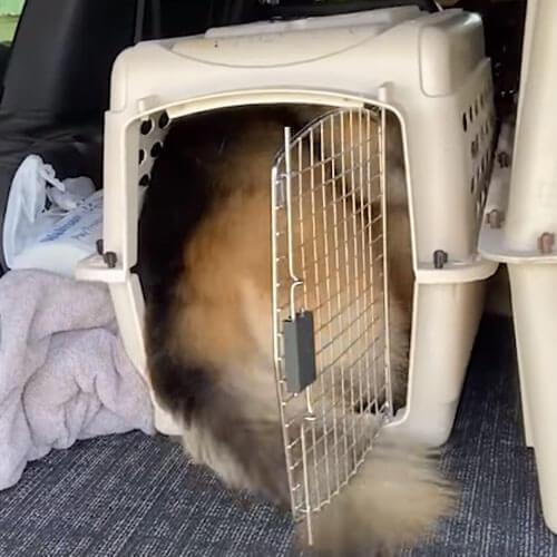 большой пёс в маленькой переноске