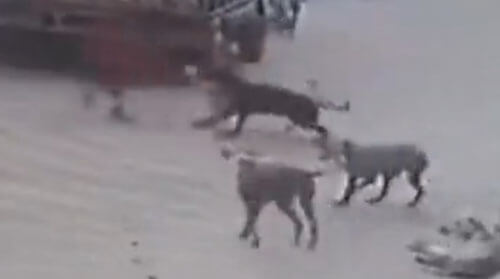 собаки напали на девочку